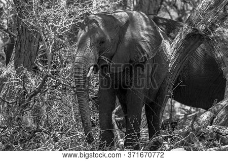 Black And White Image Of An Adult African Elephant Using The Shade Of A Tree To Keep Cool. Namibia.