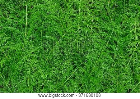 Green Grass Close-up, Background For An Inscription. Horsetail Field Top View.