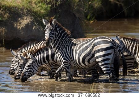 A Group Of Thirsty Zebra Drinking Water From A River With One Zebra Looking At Camera In Serengeti T