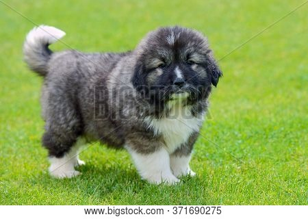Little Cute Caucasian Shepherd Puppy On A Background Of Green Grass Close-up