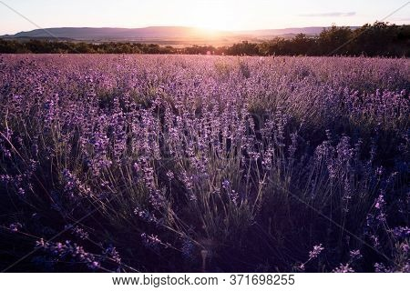 Lavender Field In The Summer Sunset Time