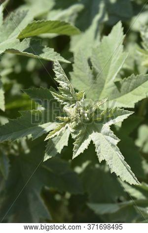 Common Marsh Mallow Flower Bud - Latin Name - Althaea Officinalis