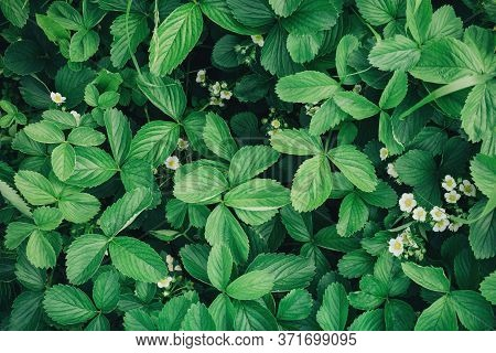 Green Fresh Background Texture Leaves And Flowers Garden Strawberries Closeup