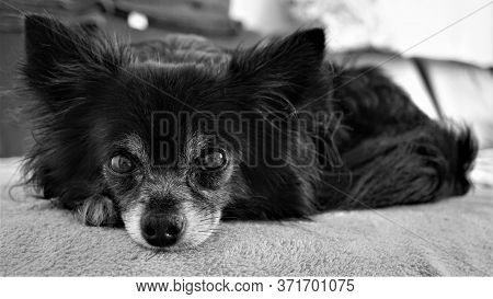 Black And White Portrait Of A Chihuahua On The Sofa. Cute Dog Close-up.