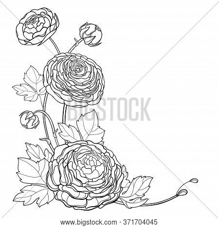Vector Corner Bouquet Of Outline Ranunculus Or Buttercup Flowers, Bud And Leaves In Black Isolated O