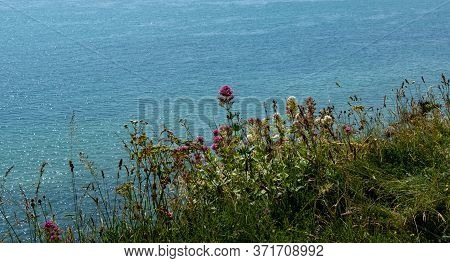 Wild Flowers On The Cliff Edge Near Eastbourne, Sussex, Uk