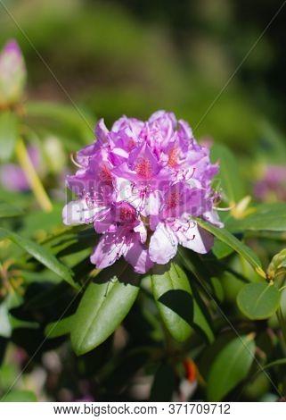 Macro Shot Of Flowering Rhododendron Shrub With Lilac Flowers In Early Spring. Early Spring Flowerin