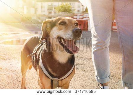 Dog Walking, Companion Dog, Sunlight, Owner And Happy Dog