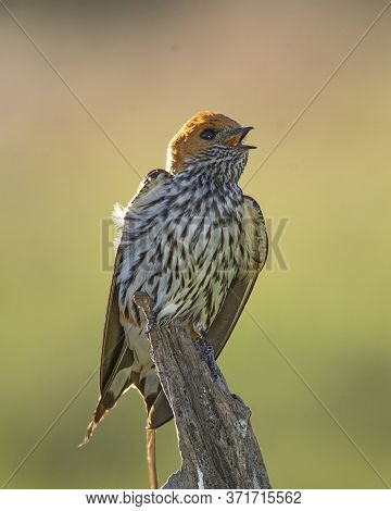 The Lesser Striped Swallow Sitting On The Branch. Green Background. A Singing Swallow On A Branch. A