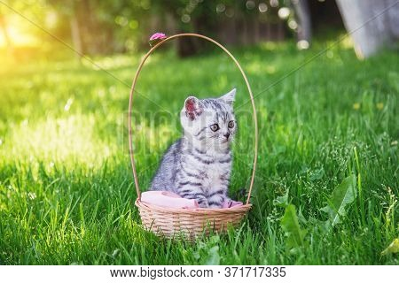 Cute Little Fluffy Gray Kitten Sitting In A Basket On A Pink Coverlet In A Green Garden On A Summer