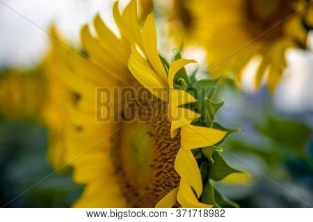 Sunflower Circle Big Yellow Flower Warm Background Reflective Light From The Sun Concept Of Hope Ene