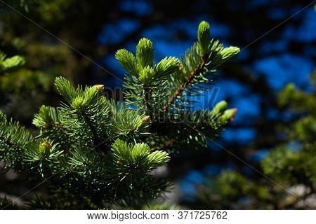 Fir Branches. Natural Background. Macro Photo Of A Spruce Branch. Fir Branches In The Forest.
