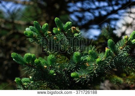 Close Up Photo Of Spruce Tree Branches. Natural Green Textured Background. Fir Branch Seamless Patte