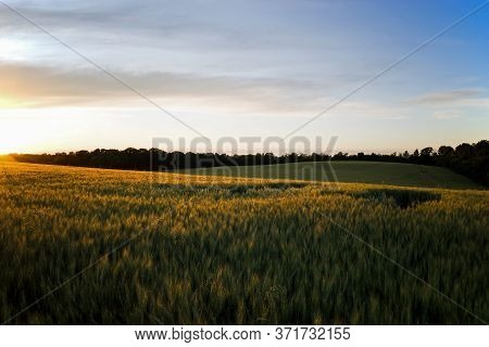 Bearded Barley Field In The Golden Hours Of Dusk.  It Is A Member Of The Grass Family, Is A Major Ce