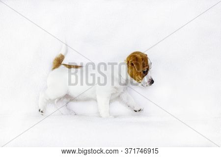 Curious Puppy Bitch Jack Russell Terrier Runs On A White Background, Horizontal Format