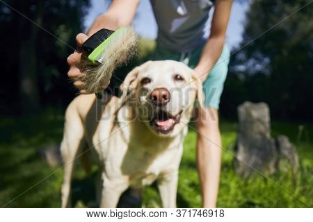 Routine Dog Care. Pet Owner Is Brushing Fur Of His Labrador Retriever.
