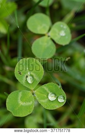 Closeup Of White Clover Leaves With Droplets Of Dew. Nature, Symbols, Environment And Botany Concept