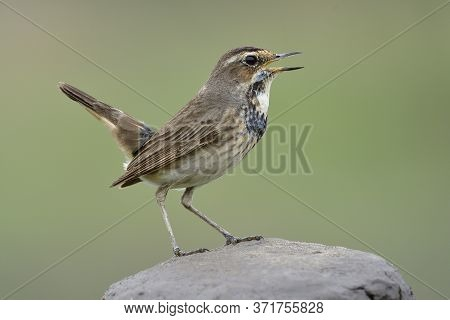 Little Brown Bird With Dark Chest Singing On Happy Moment While Perching On Rock Pole, Bluethroat In