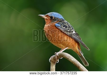 Male Of  White-throated Rock Thrush (monticola Gularis) Calmly Perching On Thin Wooden Stick Over Bo