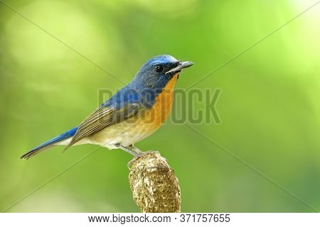 Male Of Chinese Blue Flycatcher (cyornis Glaucicomans) Beautiful Natural Blue And Orange Bird Has Be