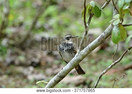 Male Of Dusky Thrush (turdus Eunomus) Perching On Tree Branch In Migration Trip To Thailand During W
