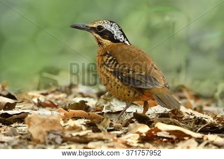 Male Of Eared Pitta, Most Wanted Camouflage Brown With Black Face And White Ear Standing On Messed G