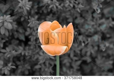Orange Tulip Soul In Black White For Peace Heal Hope. The Flower Is Symbol For Power Of Life And Min