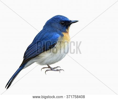 Male Of Tickell's Or Indochinese Blue Flycatcher (cyornis Tickelliae) In Fuffly Feathers With Detail