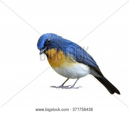 Male Of Tickell's Or Indochinese Blue Flycatcher (cyornis Tickelliae) In Surrendering Manner Isolate