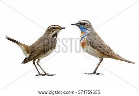 Pair Female And Male Of Bluethroat Lovely Migration Bird To Thailand And Asia In Winter With Differe