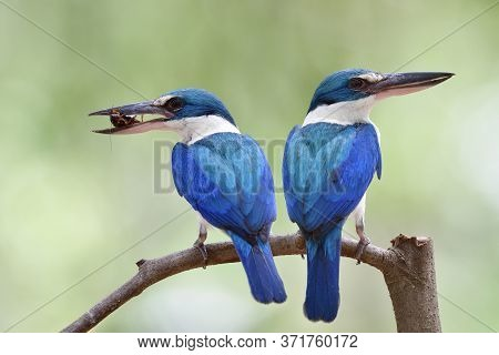 Pair Of Parents Collared Kingfisher Carrying Cricket Insect In Its Big Beaks To Feed Chicks In Nest,