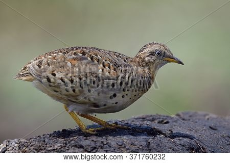Pale Camouflage Brown Bird Squating And Alerting To Invade Enemy Under Strong Sun In Mid Day, Yellow