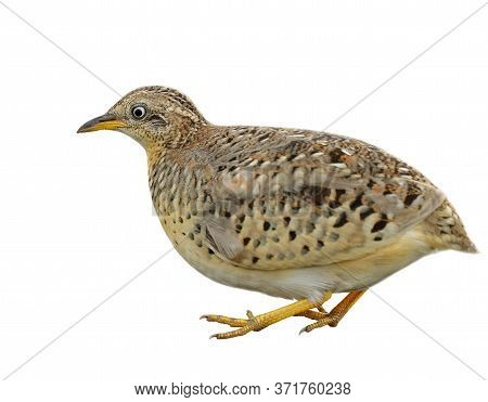Pale Camouflage Brown To Yellow Bird With Big Eyes And Short Tail Isolated On White Background, Male
