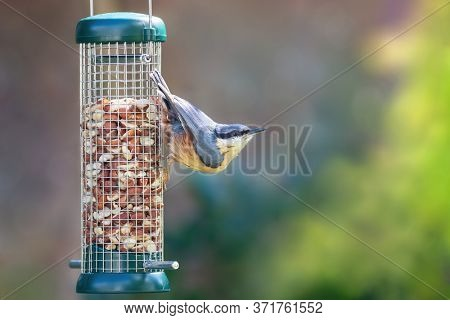 Adult nuthatch, sitta europaea, hanging form a peanut bird feeding in a graden in Hampshire, UK. Green foliage background with space for your text.