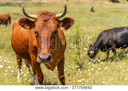 Portrait Of A Brown Cow Bull With Horns On A Green Meadow With White Flowers. The Head Looks Straigh