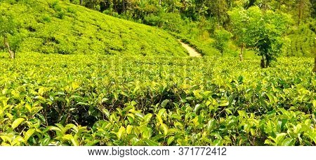 Tea Plantation. Shallow Depth Of Field. Focus In The Foreground. Wide Photo