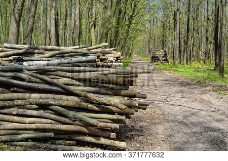 Harvesting Wood In A Young, Green Forest. Cut Logs, Timber.