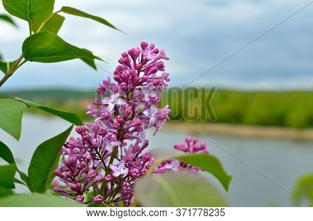 A Young Lilac Blossomed By The River In Spring.