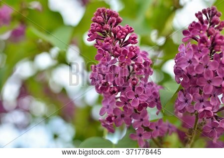 Branches Of A Young Lilac Bloom Among Green Leaves