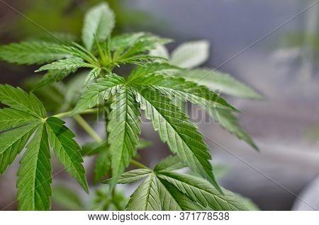 Young, Green Cannabis Plants Grow In Pots. Growing Medical Marijuana.