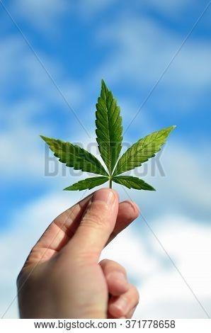 Hand Holds Cannabis Leaf Against Blue Sky