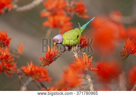 A Blossom Headed Parakeet Was Drinking Honey From A Flower.