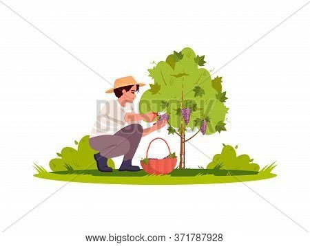 Grapewine Harvest Semi Flat Rgb Color Vector Illustration. Harvest For Local Winery Production. Coun