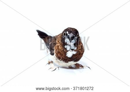 Japanese Finch Bird With Dark Brown And White Feathers Pet Portrait Isolated On A White Background,
