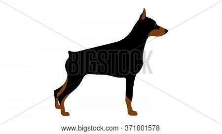 Doberman. Full Height Dog, Side View, Silhouette. Vector Isolated Illustration Of A Thoroughbred Dog