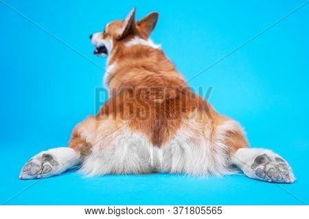 Funny Welsh Corgi Pembroke Or Cardigan Dog Lies On Blue Background With Outstretched Hind Legs, Rear