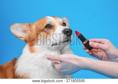 Owner Holds Red Lipstick In Hands And Is Going To Make Up Lips Of Obedient Welsh Corgi Pembroke Dog