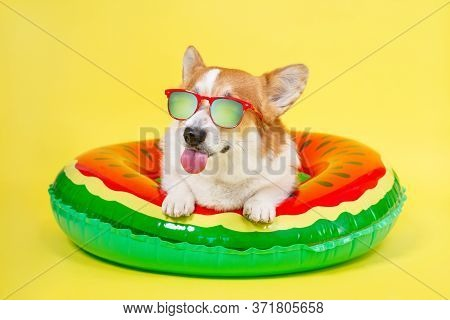 Smiling Welsh Corgi Pembroke Dog In Red Sunglasses With Polarizing Lenses Lies In Inflated Life Buoy
