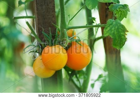 Yellow Tomatoes Hanging On Plants In Organic Farm.