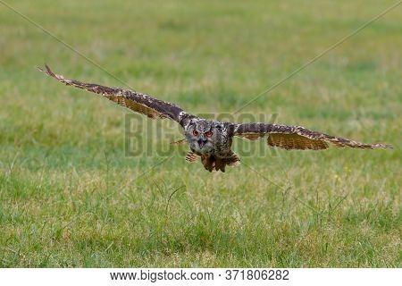 An European Eagle Owl (bubo Bubo) Flying Over The Meadows In The Netherlands.